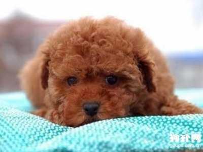 泰迪为什么喜欢黏人 泰迪犬到底有多粘人